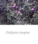 dicliptera_resupina